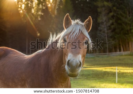 Horse close-up in the sunlight. Portrait of a mare. A beautiful brown horse with white bangs and mane. Summer landscape. Free grazing.