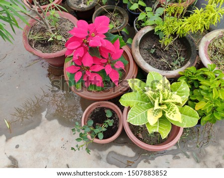 beautiful picture of Poinsettia and Garden croton plant in the pot.