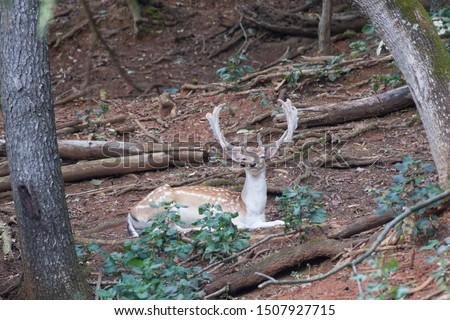Chilo deer outdoors in nature #1507927715