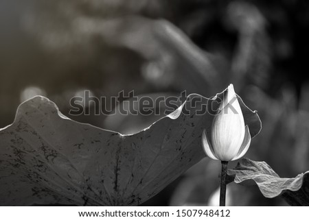 Beautiful lotus leaf near the pond, pure natural background, lotus black and white picture, lotus flower on the water surface and dark black and white leaves