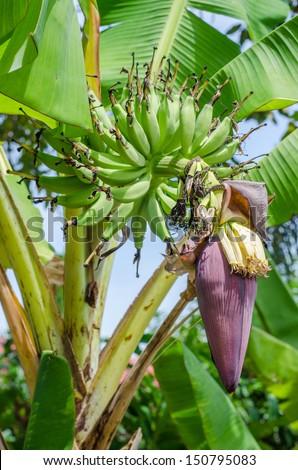 growing banana blossom on banana tree #150795083