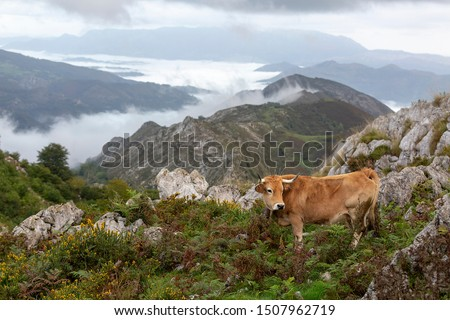 Beautiful cow resting at mountaing with distant clouds #1507962719
