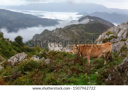 Beautiful cow resting at mountaing with distant clouds #1507962722