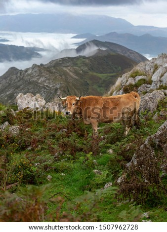 Beautiful cow resting at mountaing with distant clouds #1507962728