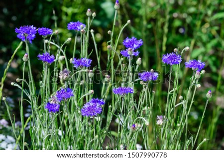 Small blue flowers of Centaurea montana, commonly known as perennial cornflower, mountain cornflower, bachelor's button, montane knapweed or mountain bluet, in a sunny summer garden, in soft focus  #1507990778
