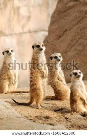 standing meerkat masses sun light #1508412500