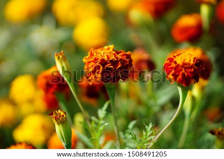 Marigolds (Tagetes erecta, Mexican marigold, Aztec marigold, African marigold) #1508491205