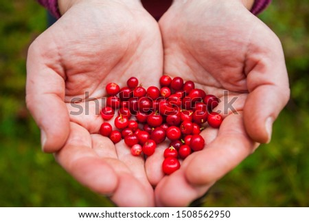 Lingonberry. Tasty berries in the hands. Woman treats with fresh lingonberries. Red lingonberry berries in the fall. Photo background concept with berries in hands. #1508562950