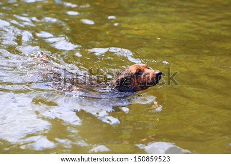 Long hair dachshund swimming in lack water with only his head visible #150859523