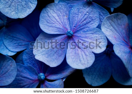 More commonly known as hydrangea around the world, the ajisai flower signifies the ending of the rainy season and the coming of the summer season in Japan. #1508726687