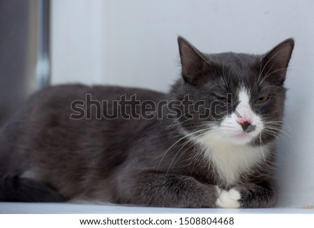 gray with white plump cat portrait #1508804468