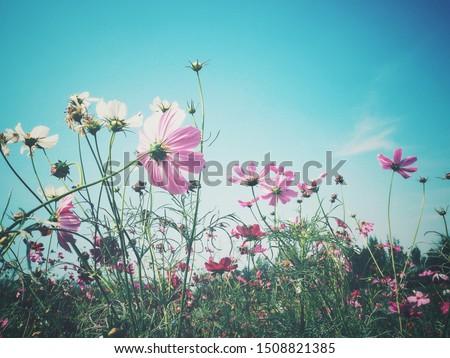 Beautiful of pink cosmos flowers vintage #1508821385