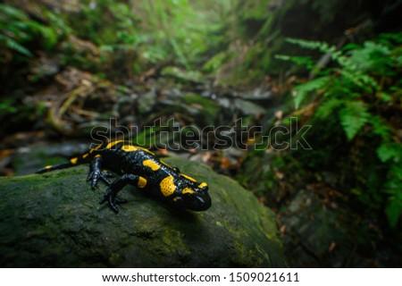 Fire salamander in the natural environment, natural habitat, wide macro lens, Salamandra salamandra, Czech Republic,