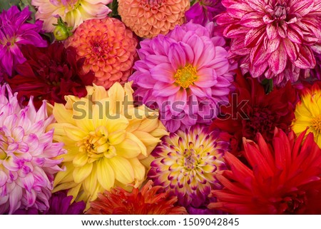 Red, white, yellow dahlia august colorful background. View of multicolor dahlia flowers. Beautiful dahlia flowers on green background. Summer flowers is genus of plants in sunflower family Asteracea #1509042845