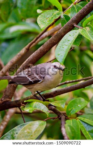 Curious tropical Mocking bird (Pied Carreau) perched on a sour-sop tree in tropical Saint Lucia #1509090722