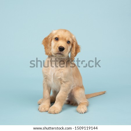 Cocker spaniel puppy and puppies #1509119144
