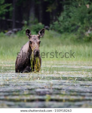 Moose Eating Grass in Pond #150918263