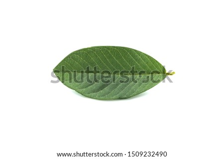 Guava leaf isolated on white background with clipping path.Guava leaves help stop bad breath.Guava leaves relieve toothache from gingivitis.Guava leaves reduce intestinal peristalsis #1509232490