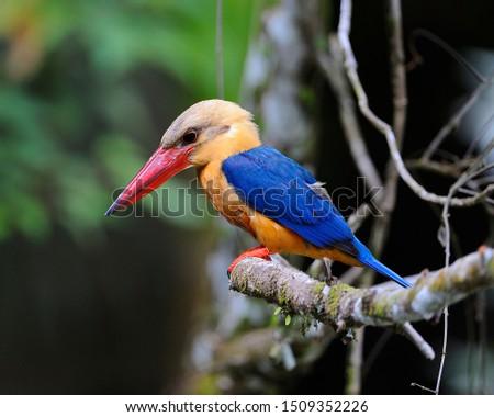 Storked-Billed Kingfish (Sandakan Wildlife Capturing)
