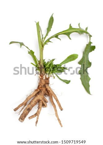 Common chicory root (Cichorium intybus). Chicory root (Cichorium intybus radix) helps to cleanse and strengthen the body, normalize the heart and blood vessels. Top view. Copy space text #1509719549