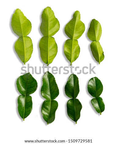 Fresh Leaf of bergamot (kaffir lime) on White background. Kaffir lime leaves are an important ingredient of Thai food. #1509729581