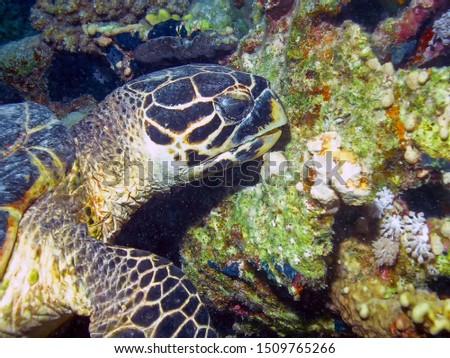 Hawksbill Sea Turtle (Eretmochelys imbricata) #1509765266