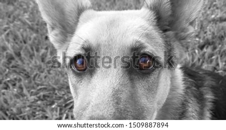 Deep brown eyes of a German Shepard dog #1509887894
