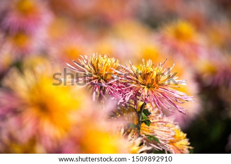 Beautiful Chrysanthemums in garden. Flowers as background picture. Chrysanthemum wallpaper. Japanese style. Autumn garden of chrysanthemums.