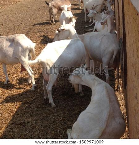 Macro photo goat farm. White animal goats on the farm. Photo nature animal goat