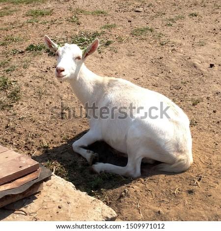 Macro photo goat farm. White animal goats on the farm. Stock photo goat farming