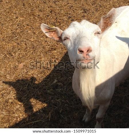 Macro photo goat farm. White animal goats on the farm. Stock photo smile happy goat