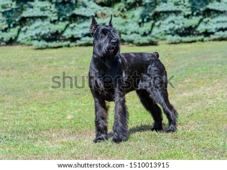 Giant Schnauzer looks aside. The Giant Schnauzer stands on the green grass in city park. #1510013915