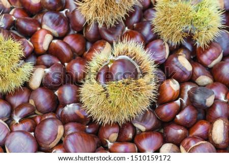 Chestnuts and chestnut burs. European species, sweet chestnut (Castanea sativa) #1510159172
