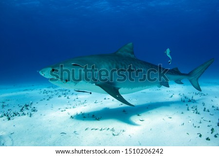 Tiger Shark (Galeocerdo cuvier) Cruising over White Sand Bottom. Tiger Beach, Bahamas