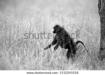 Olive baboon at Savannah, Masai Mara, Kenya #1510241018