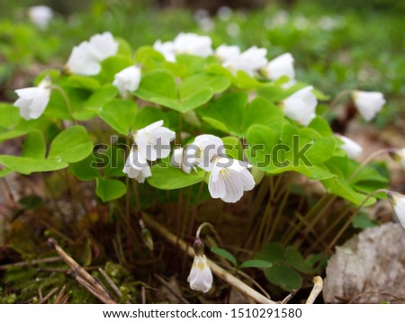 Blooming Sorrel (Oxalis acetosella L.) in the spring forest #1510291580