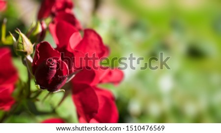 Red rose buds budding in the garden over natural green background with leafs. Focused on the top of the bud in the foreground. Space for text at the right side #1510476569