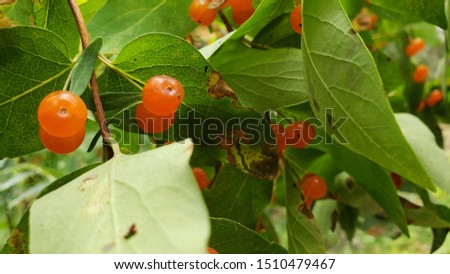 wild fruit that looks like tomatoes on a hiking trail on a summer morning with green trees in the background #1510479467