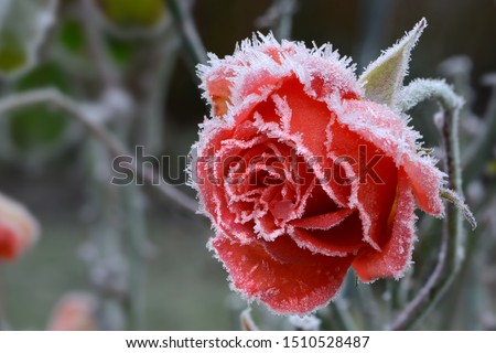 Rose blossom in autumn after a night frost  Royalty-Free Stock Photo #1510528487