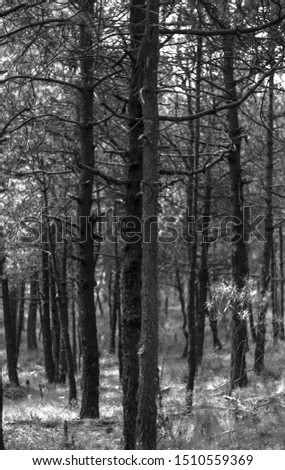 Black and white dry winter trees. #1510559369