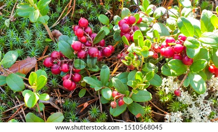 Vaccinium vitis-idaea (lingonberry, partridgeberry or cowberry). Fresh wild lingonberry in forest. Organic lingonberry. Evening sunlight in background. Nature in summer season, Finland #1510568045