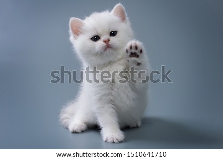 British Shorthair kitten of silver color on blue and gray backgrounds Royalty-Free Stock Photo #1510641710