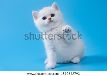 British Shorthair kitten of silver color on blue  backgrounds #1510642793