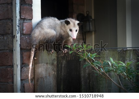 Adult female Virginia opossum (Didelphis virginiana), commonly known as the North American opossum  on the fence