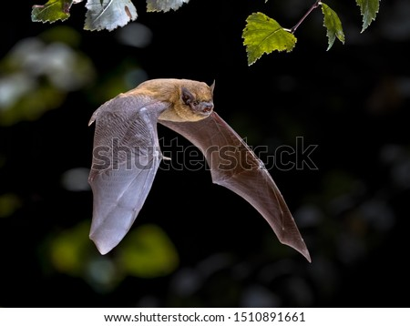 Flying Pipistrelle bat (Pipistrellus pipistrellus) action shot of hunting animal in natural forest background. This species is know for roosting and living in urban areas in Europe and Asia. Royalty-Free Stock Photo #1510891661