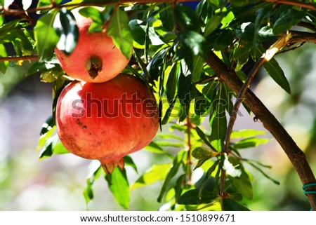 The pomegranate is one of the autumn fruits. #1510899671