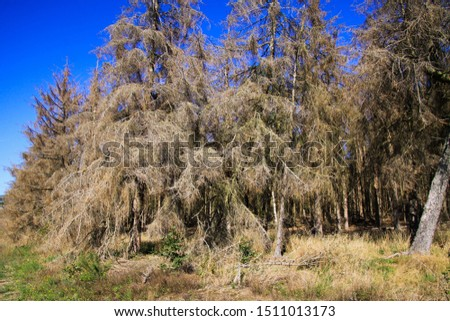 Global warming: View on dried out withered conifer trees in forest against blue sky after dry hot summer 2019 damaged by bark beetle (Scolytinae) - Netherlands, De groote Peel #1511013173