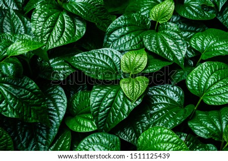Closeup dark green leaf. Abstract leaves nature background. #1511125439