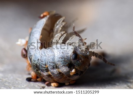Insect Common woodlice in the form of a ball, a reaction to danger. Super macro, isolated on white background, colorful picture in detail, with stuck grains of sand