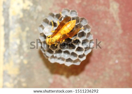 Yellow wasp and hornet are some of the deadliest insects in south Asia. The common wasp, red paper wasp, yellow potter wasp, black spider wasps are loaded with harmful sting like the bees. #1511236292